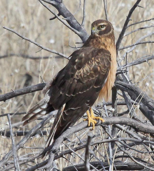 Northern Harrier (juvenile) photo #1