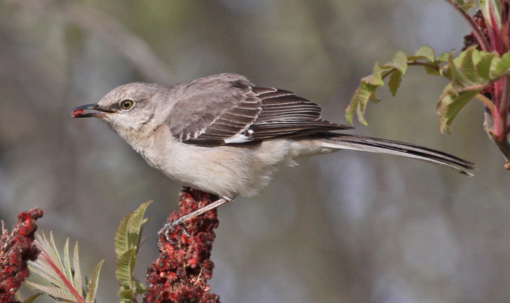 Northern Mockingbird Photo 1