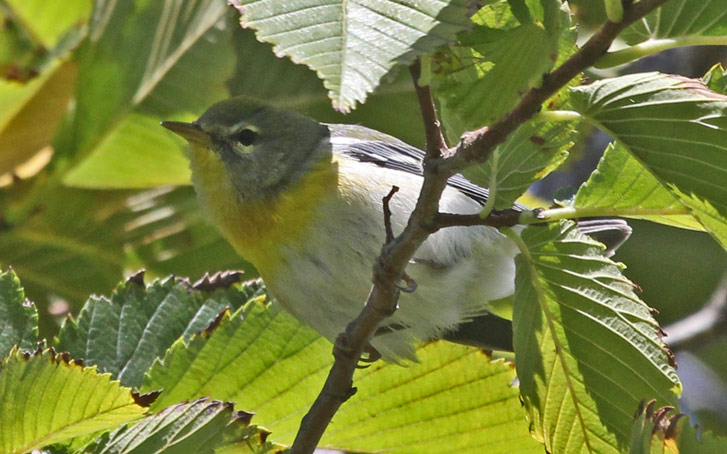 Northern Parula (1st fall female) photo #1