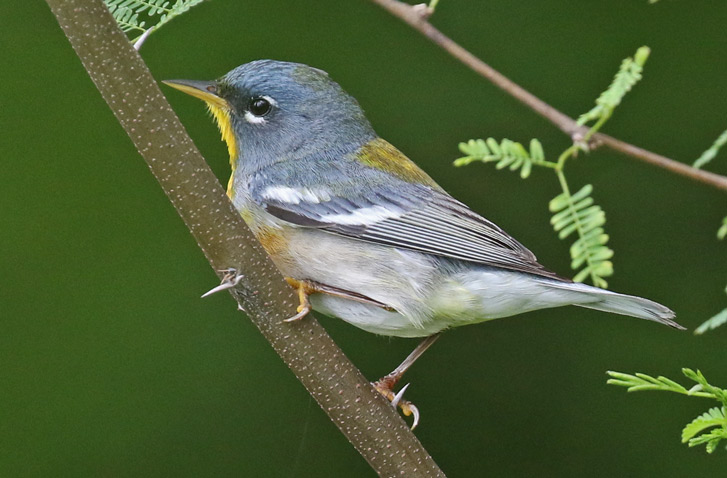 Northern Parula photo #3