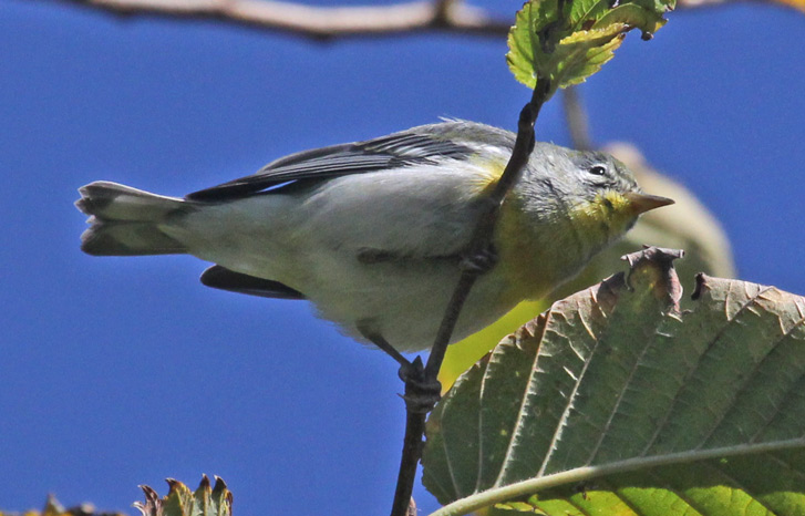 Northern Parula (1st fall female) photo #2