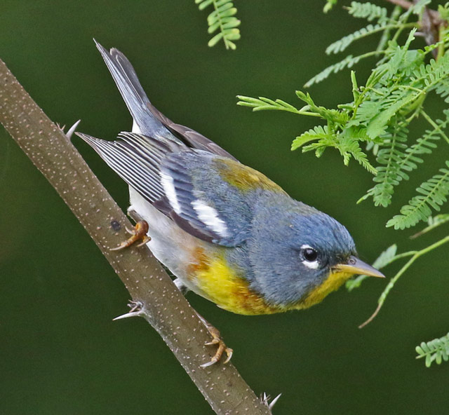 Northern Parula photo #2