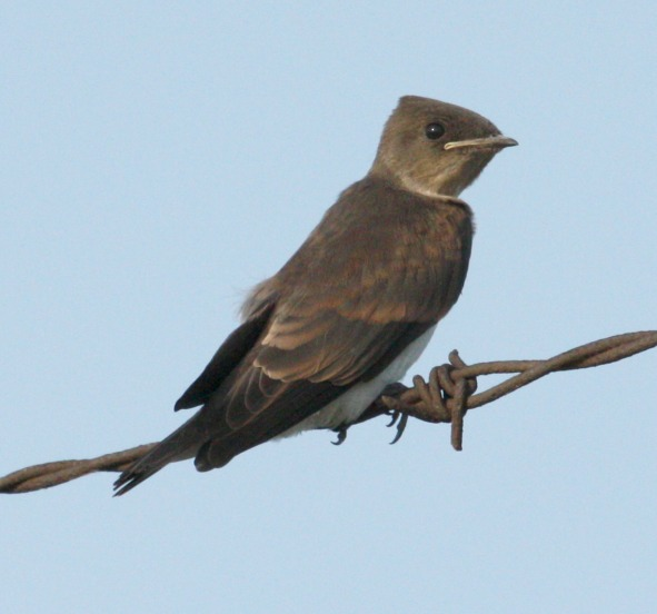 Northern Rough-winged Swallow (juvenile) photo #1
