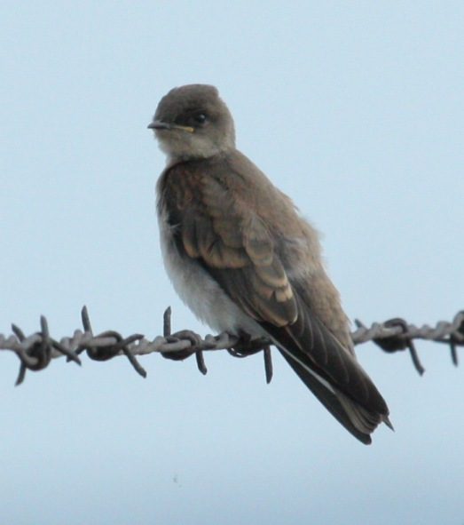 Northern Rough-winged Swallow (juvenile) photo #2