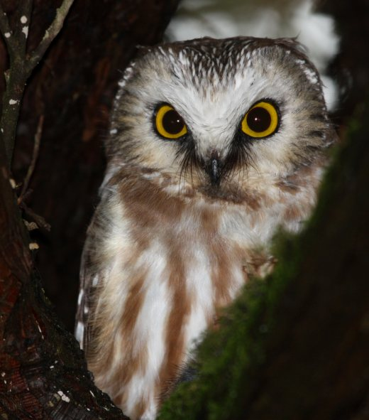 Northern Saw-whet Owl photo #1