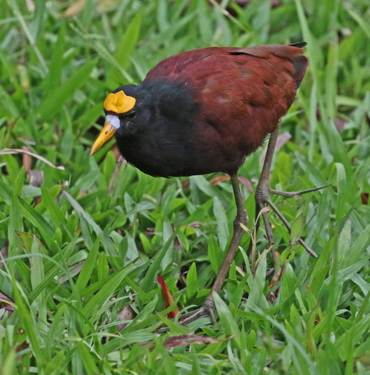 Northern Jacana (adult)
