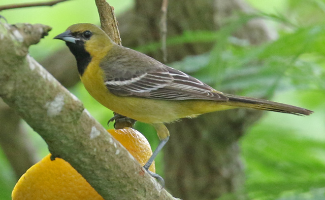 Orchard Oriole (adult female)