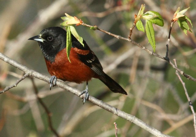 Orchard Oriole photo #3