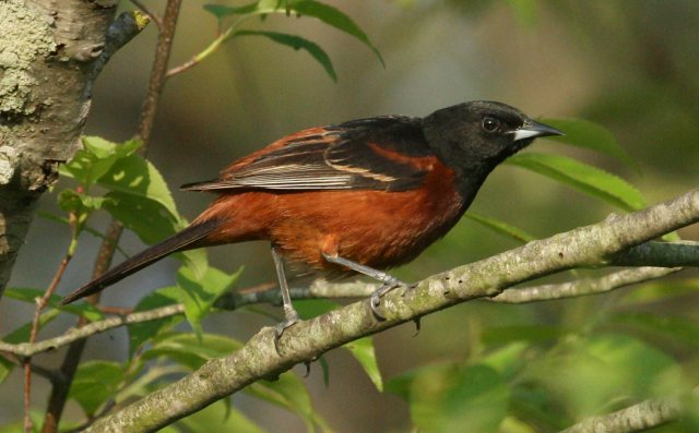 Orchard Oriole photo #2
