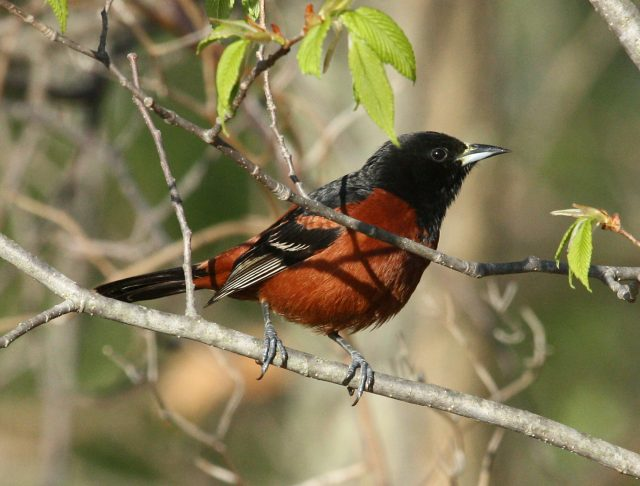 Orchard Oriole photo #4