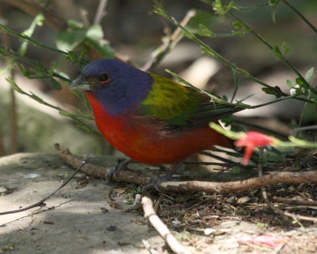 Painted Bunting Photo 1