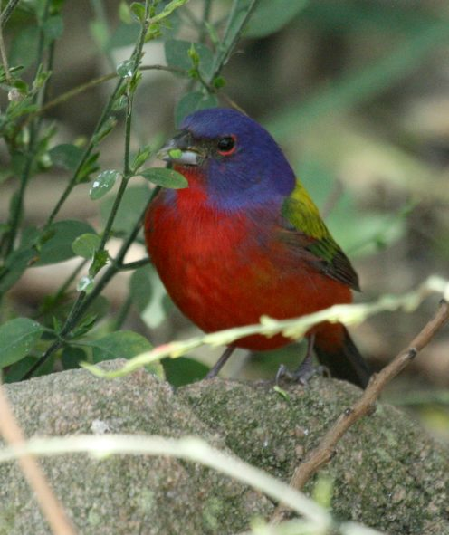Painted Bunting Photo 2