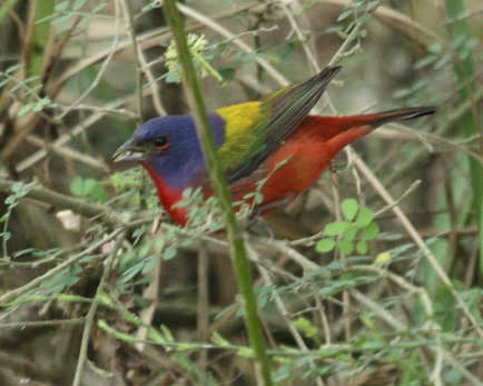 Painted Bunting Photo 3