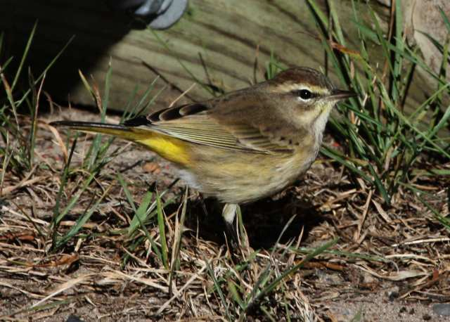 Palm Warbler photo #2