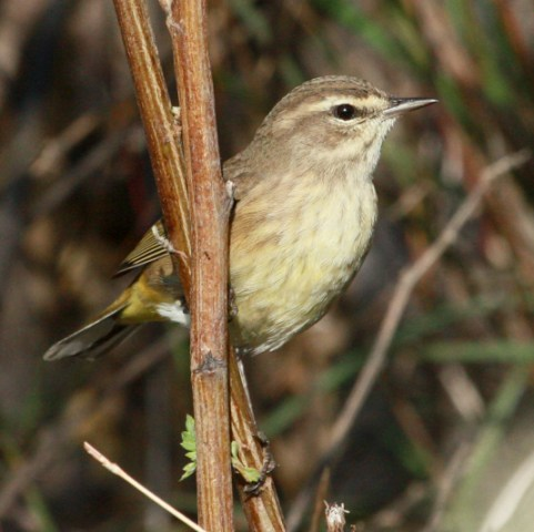Palm Warbler photo #1