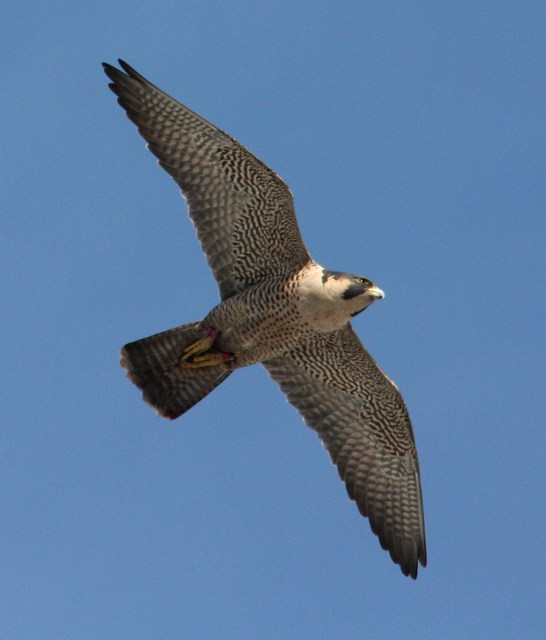 Peregrine Falcon photo #1