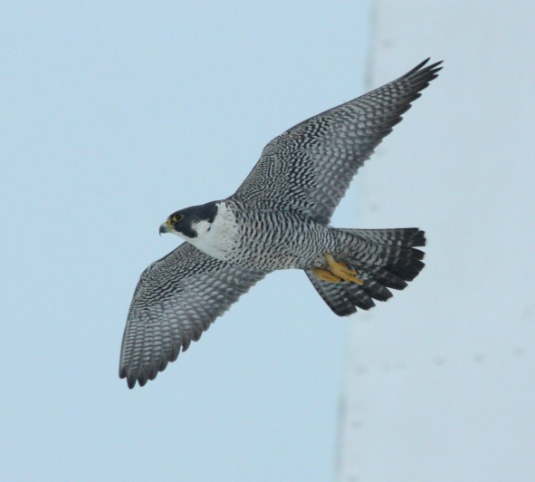 Peregrine Falcon photo #3