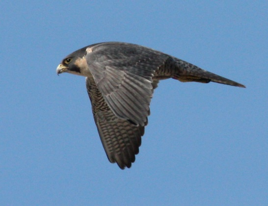 Peregrine Falcon photo #2