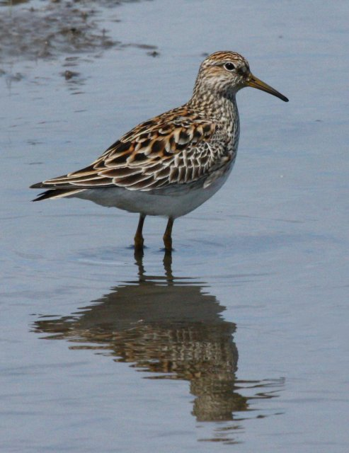 Pectoral Sandpiper Photo 1