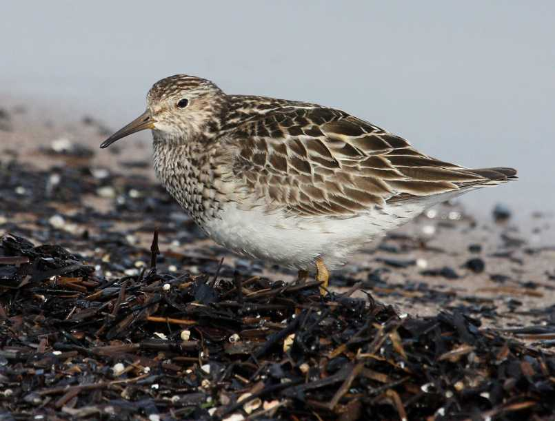 Pectoral Sandpiper (fall adult)
