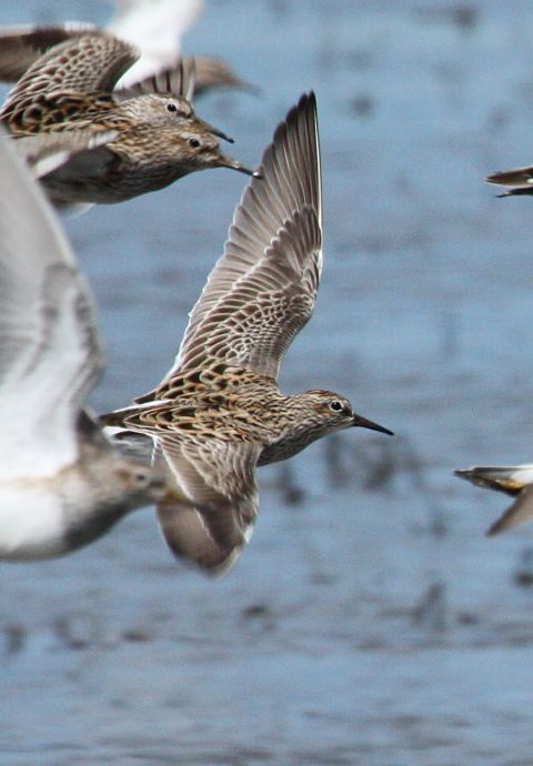 Pectoral Sandpiper (Spring adult in flight)