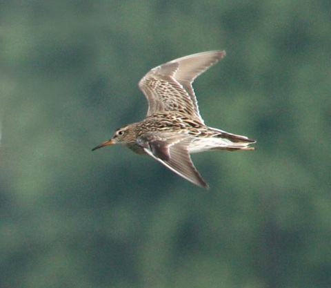 Pectoral Sandpiper (fall adult in flight)