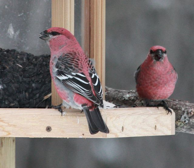 Pine Grosbeak photo #2