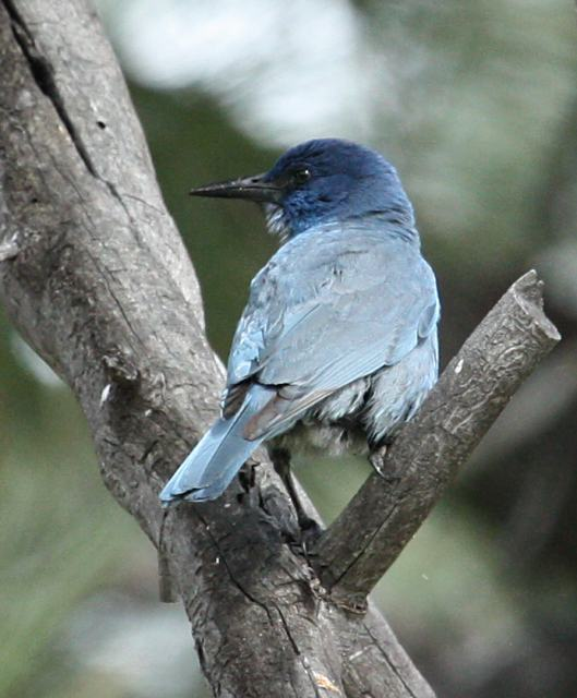 Pinyon Jay photo #1