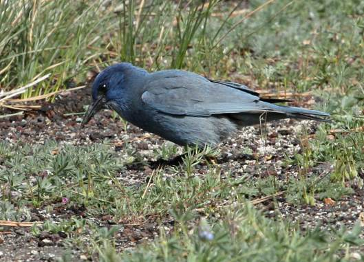 Pinyon Jay photo #2