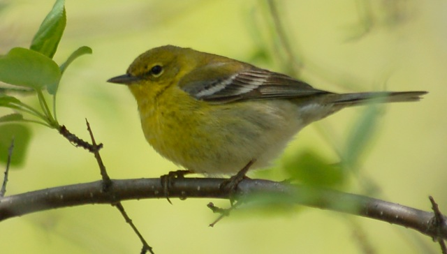 Pine Warbler (Spring adult female)