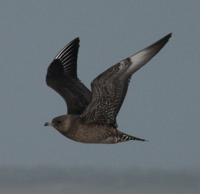 Pomarine Jaeger photo 1