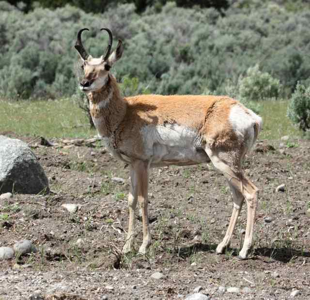 Pronghorn photo 1