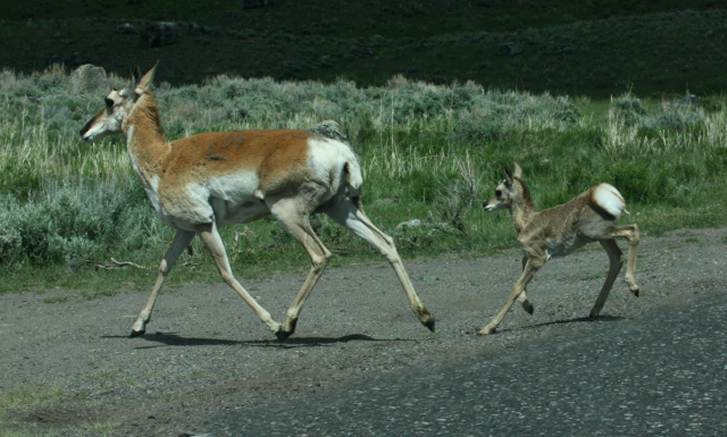 Pronghorn photo 2
