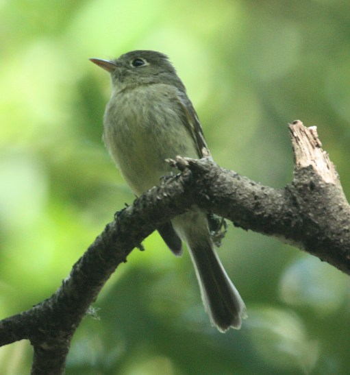 Pacific-slope Flycatcher photo #4