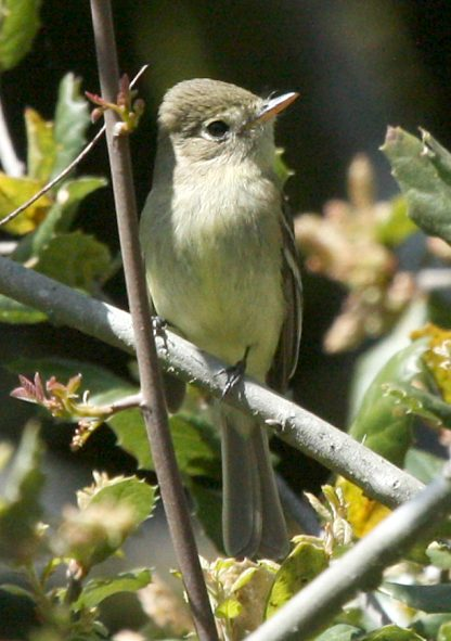 Pacific-slope Flycatcher photo #1