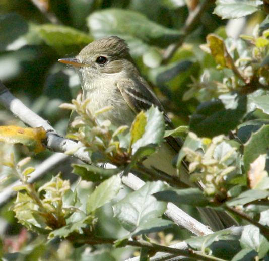 Pacific-slope Flycatcher photo #3