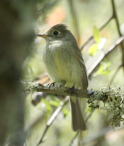 Pacific-slope Flycatcher photo #2