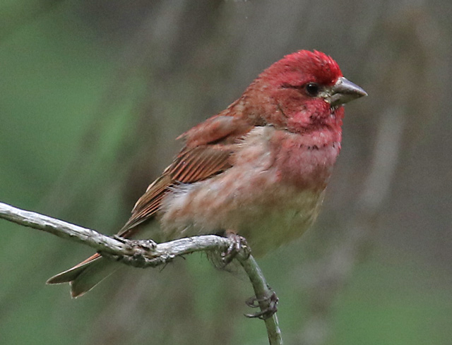 Purple Finch (male Pacific form)