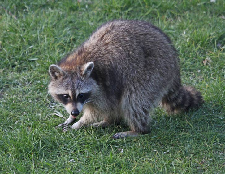 Raccoon photo 1