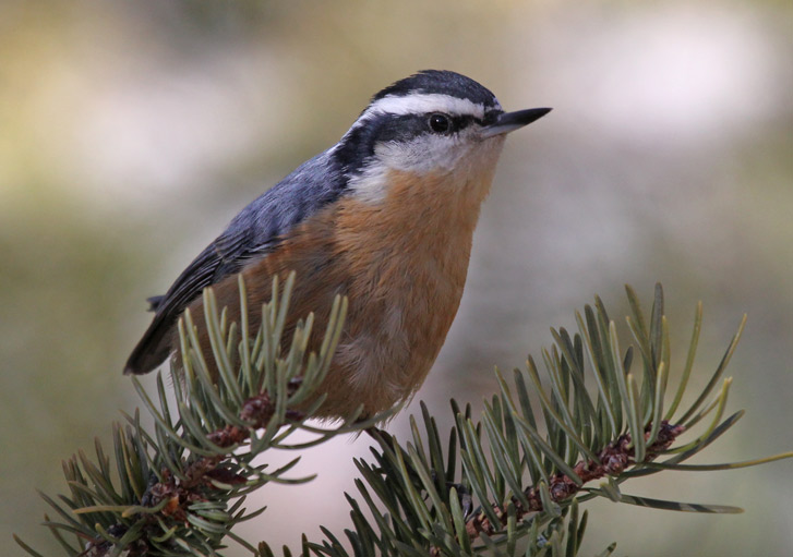 Red-breasted Nuthatch photo #1
