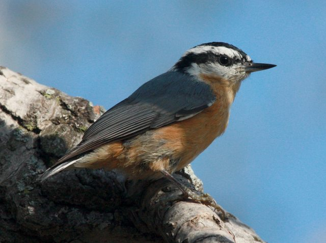 Red-breasted Nuthatch photo #3