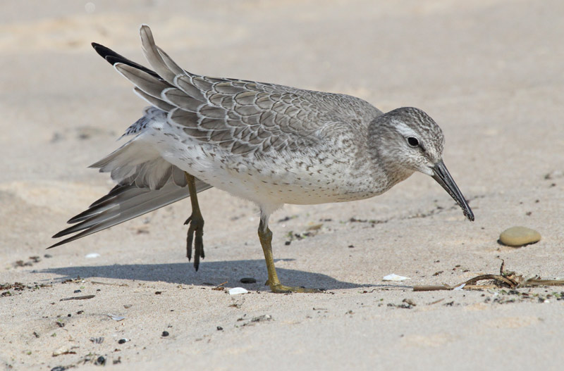 Red Knot (juvenile)