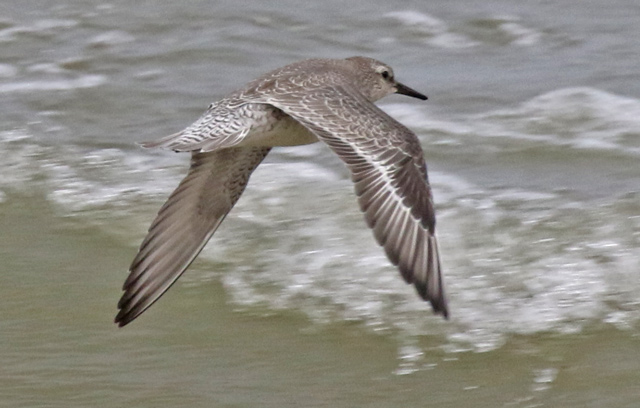 Red Knot (juvenile in flight)