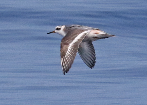Red Phalarope (molting adult)