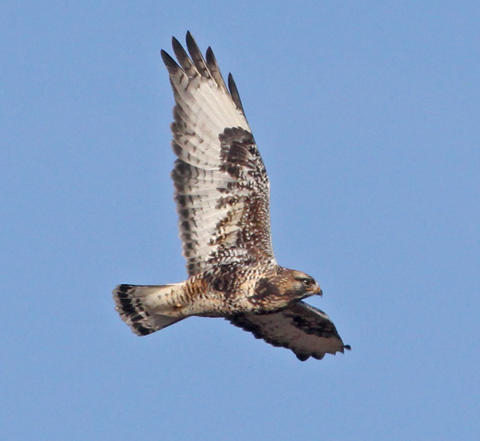 Rough-legged Hawk photo #6