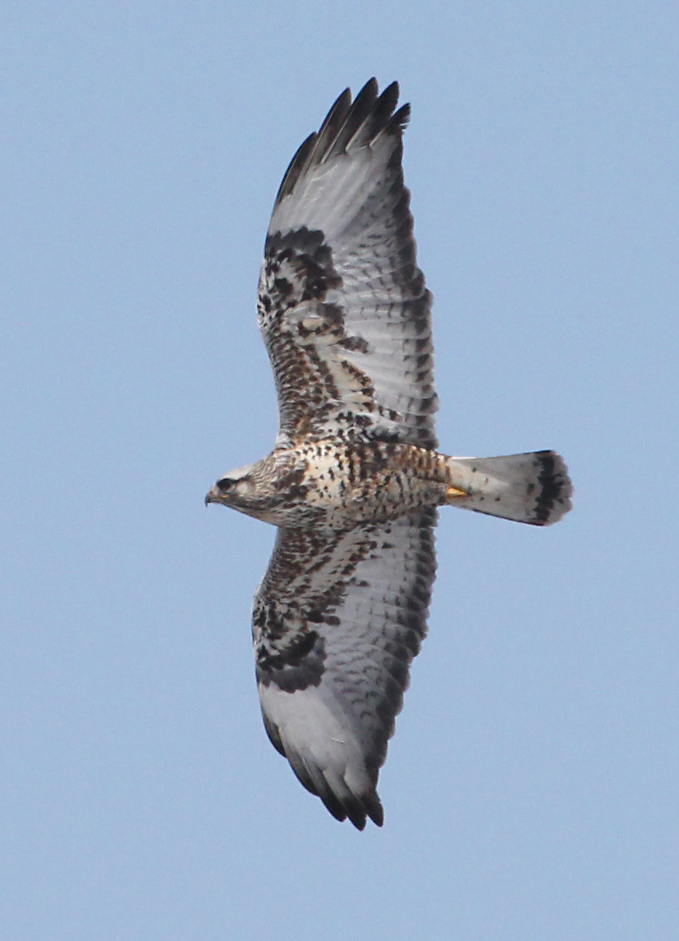 Rough-legged Hawk photo #1