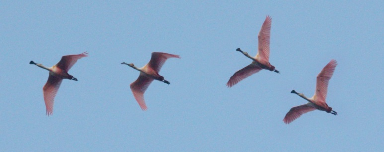 Roseate Spoonbill (in flight)