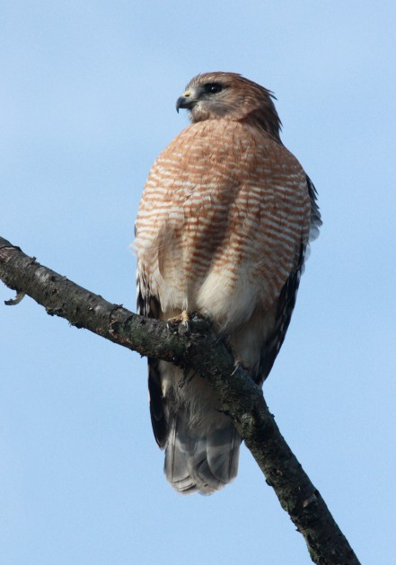 Red-shouldered Hawk photo #3