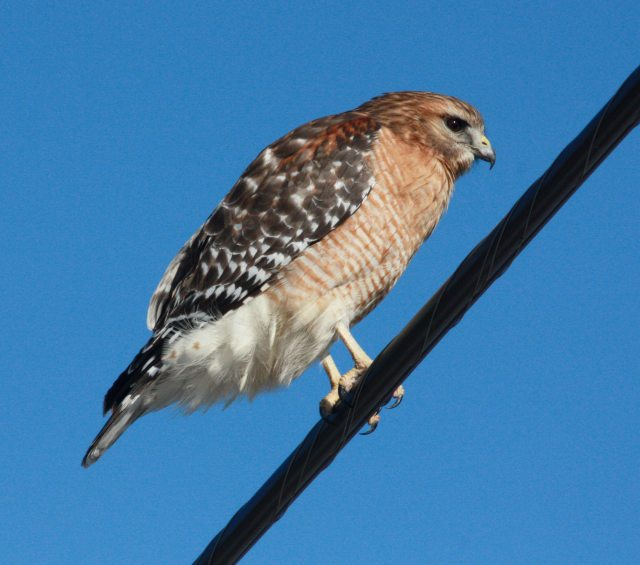 Red-shouldered Hawk photo #1