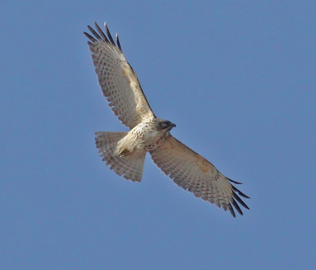 Red-shouldered Hawk (immature in flight)